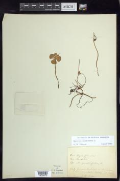 Marsilea mutica image