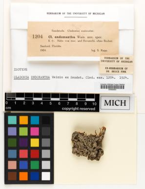 Cladonia endoxantha image