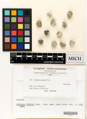 Protoparmeliopsis pinguis image