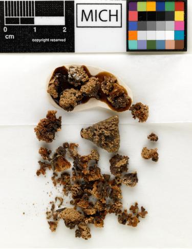 Cladidium bolanderi image