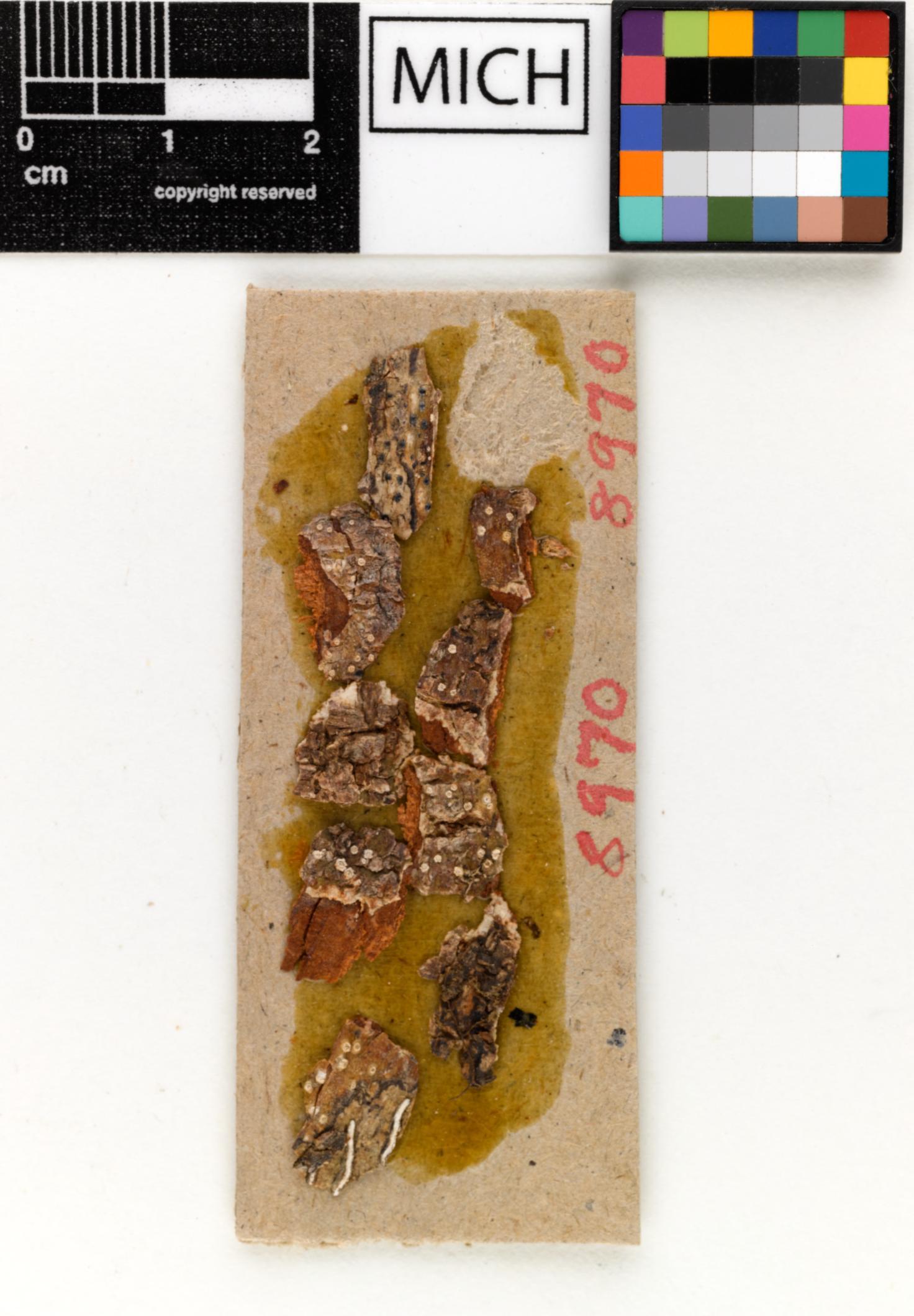 Thelotrema albo-olivaceum image