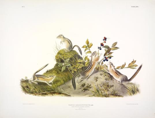 John James Audubon's Birds of America and Viviparous