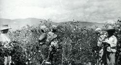 Picking cotton near Bou Raken