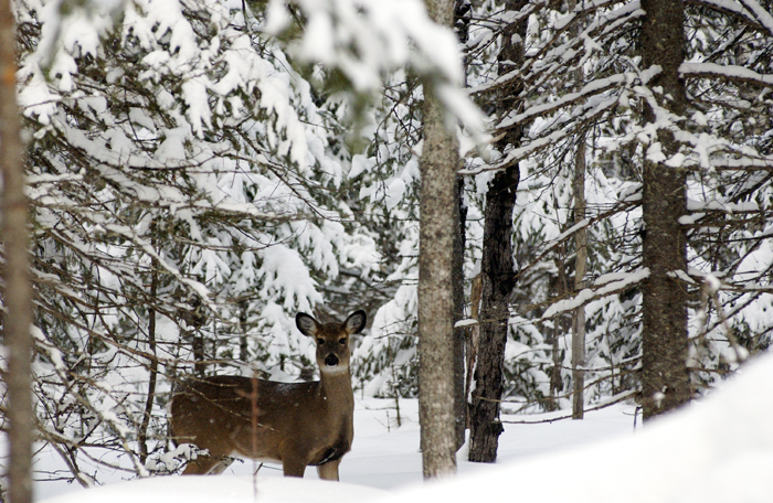 Figure 2. Deer in northern Michigan seek refuge in conifer forests during winter. The conifer trees intercept snow and moderate temperatures.