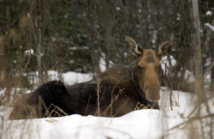 Figure 3. Moose are native to Michigan. Moose thrive in regions of the state where there is too much snow for white-tailed deer.