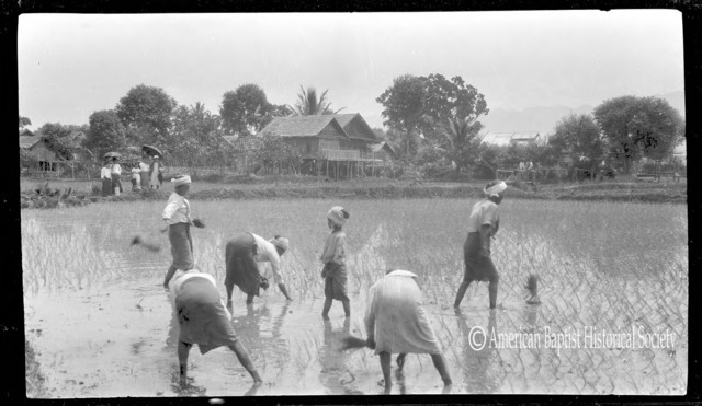 Shan women planting a field of paddy at Yaunghwe, Federated Shan States [today's Shan State]. Every plant is transplanted by hand. The American lady in the background is Miss Mary E. Phillips, American Baptist missionary from Rangoon. April 27, 1927.