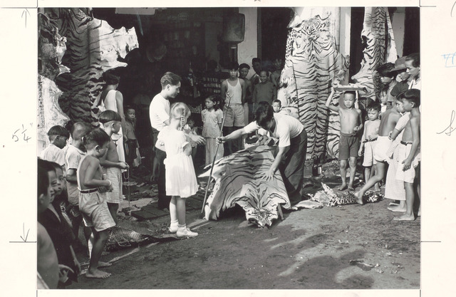 Fig. 15. Tiger skins for sale, 1939. Photo by J. Baylor Roberts (National Geographic Image Collection: Courtesy of National Museum of Singapore, National Heritage Board)