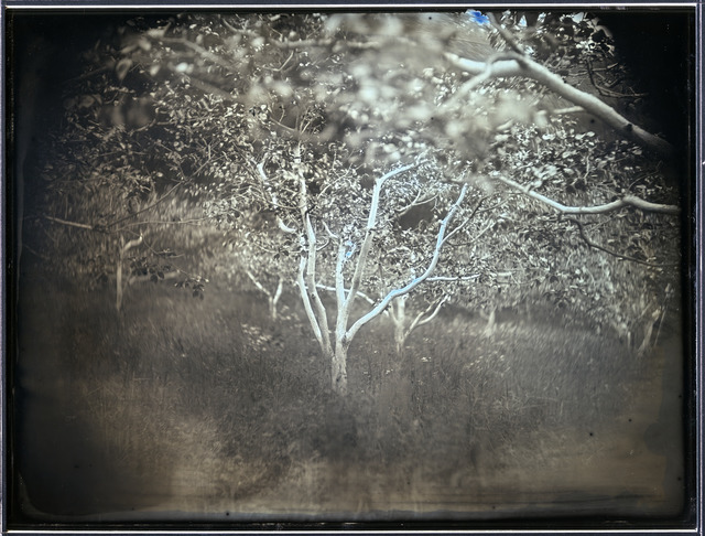 "Fig. 4. Takashi Arai, Persimmon Trees with Those Skins Stripped Away for Trial Decontamination, Tsukidate, Fukushima, from the series ""Here and There – Tomorrow's Islands,"" 2012, 19,3 x 25,2 cm, daguerreotype, © 2012 Takashi Arai, courtesy of the artist."